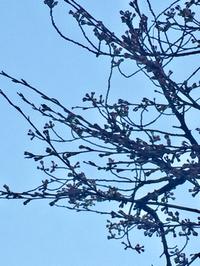 桜咲いてたよ〜〜♡✧。(⋈◍>◡<◍)。✧♡