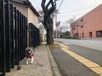 酒田の桜の開花宣言╰(*´︶`*)╯♡