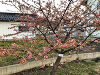 河津桜観察の散歩