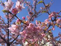 """河津桜が綺麗✿✾""""ヽ(。◠‿◠。)ノ""""✾✿"""