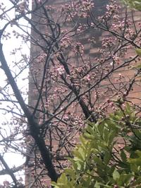 愛宕神社のソメイヨシノが咲いたよヽ(^◇^*)/ ワーイ