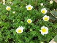 鳥海山の花「チングルマ」