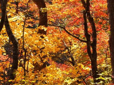紅葉「鳴子峡」