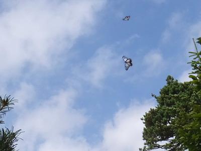 飛翔「アサギマダラ」