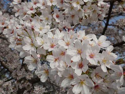 春・さくら