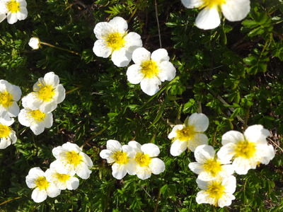 鳥海山「夏の花」