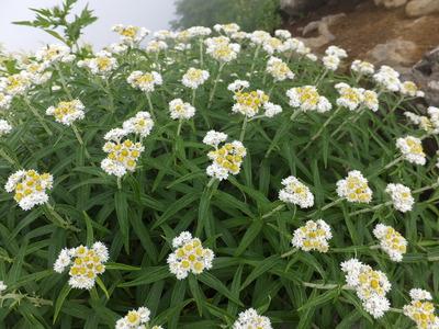 鳥海山花いっぱい!