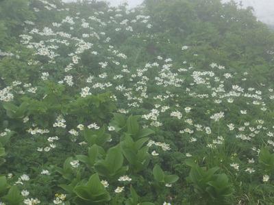 鳥海山の花「ハクサンイチゲ」