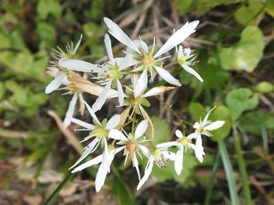 鳥海山の花たち