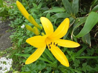 鳥海山の花「ニッコウキスゲ」