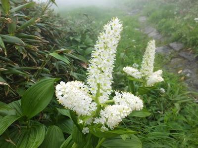 鳥海山の花「コバイケイソウ」