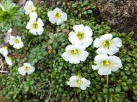 鳥海山の花々part2