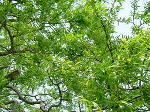 新緑、津谷のオオヤナギ。