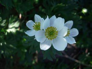 鳥海山のお花2