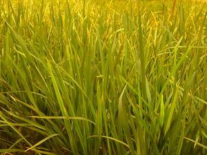 地下の稲作
