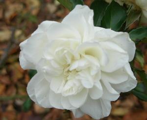 名残りの「バラ」