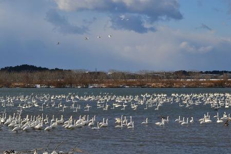 最上川の白鳥1