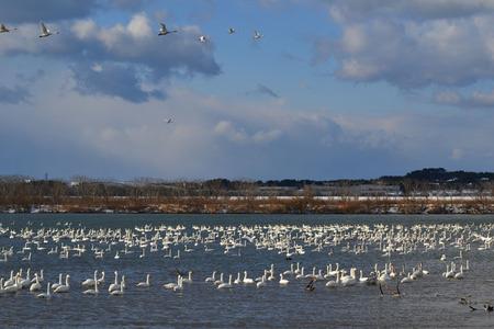 最上川の白鳥2