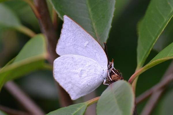 宮野浦にウラギンシジミ蝶