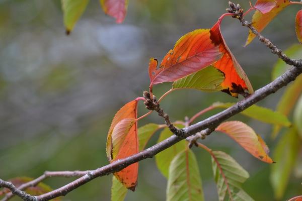 にいだ川桜並木の紅葉
