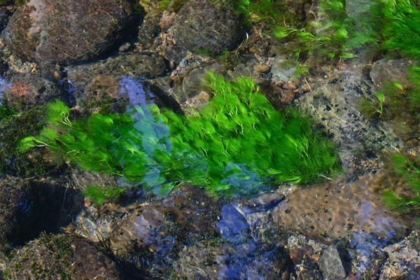 丸池様と梅花藻(ばいかも)