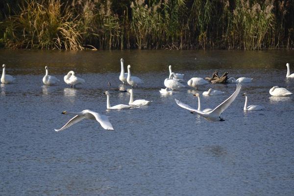 最上川の白鳥たち