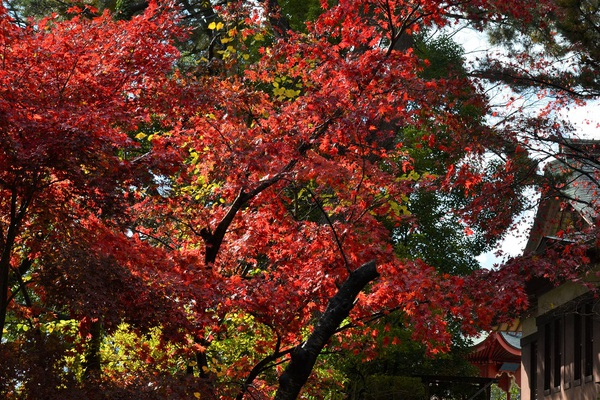 光丘文庫脇の紅葉