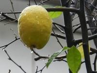 黄色いかりんに冬の雨
