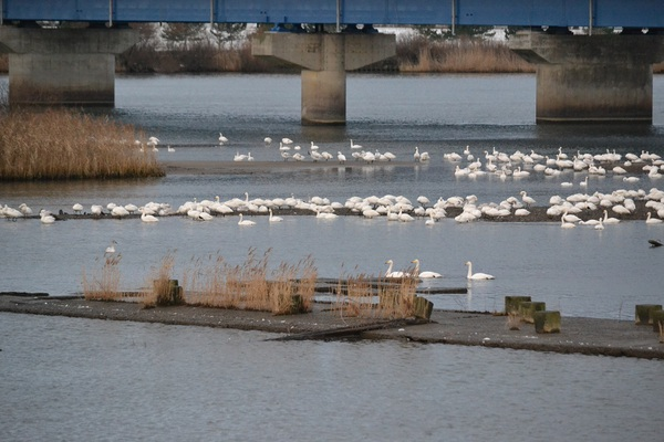 年末余裕の白鳥たち
