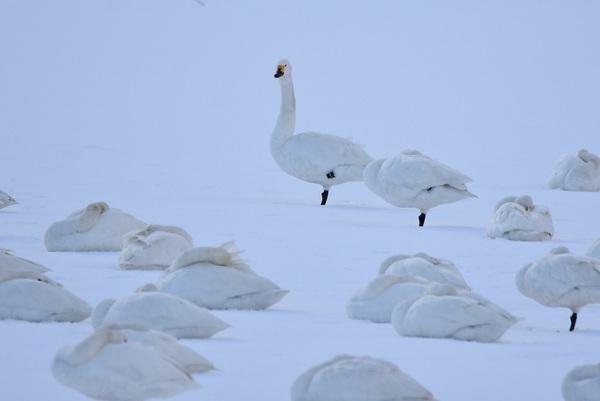 白鳥の休息日