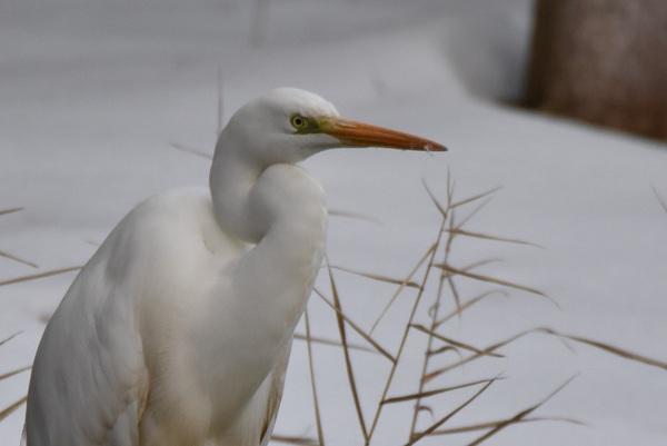 雪の中の白鷺