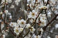 公益大裏山の梅の花