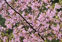 酒田市光ヶ丘プール脇の桜