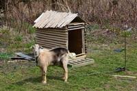 飛島の山羊