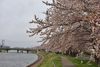にいだ川の桜並木満開