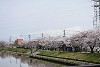 にいだ川遊歩道の桜見学