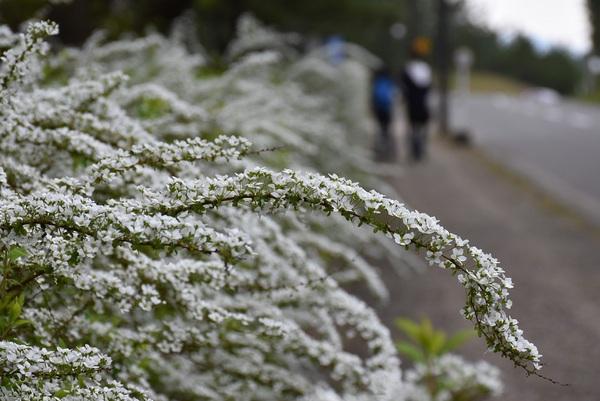 酒田市美術館周辺の草花そしてアオジ