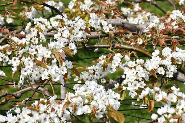 酒田市刈屋地区梨の花満開