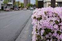 街路樹つつじ咲始め 2017/05/14 08:01:00