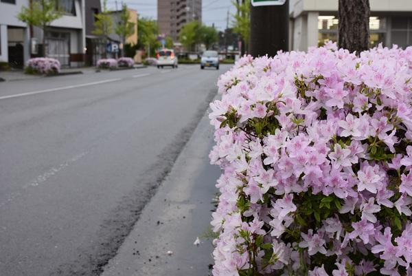 街路樹つつじ咲始め