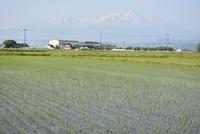 5月の田を渡る風たち