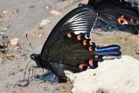 カラスアゲハの怪しい翅の輝き