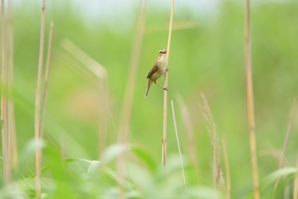 初夏の鳴き声オオヨシキリ