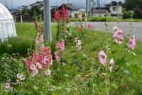 八幡地区にタチアオイ咲く