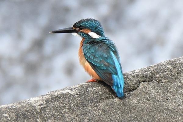 荒瀬川のカワセミ、鮎捕獲