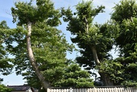 下藤塚のけやき並木