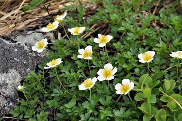 月山の可憐な花たち