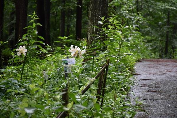 八森自然公園の山百合咲く