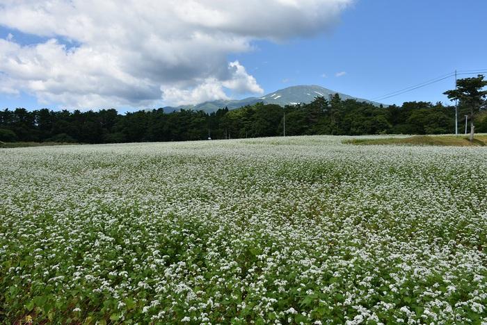 大台野の蕎麦の花満開