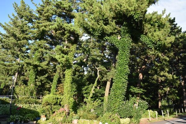万里の松原の蔦の侵食